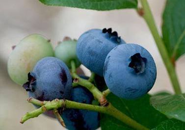 blueberry dengan berbagai manfaat