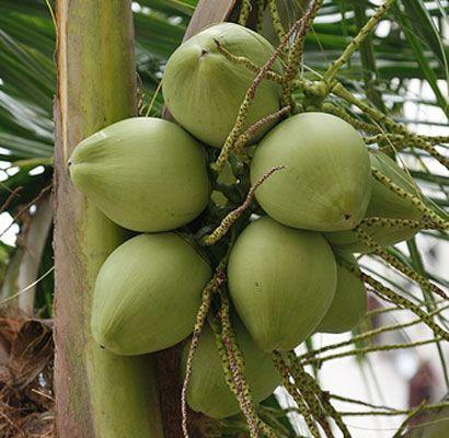 air kelapa bermanfaat untuk demam berdarah