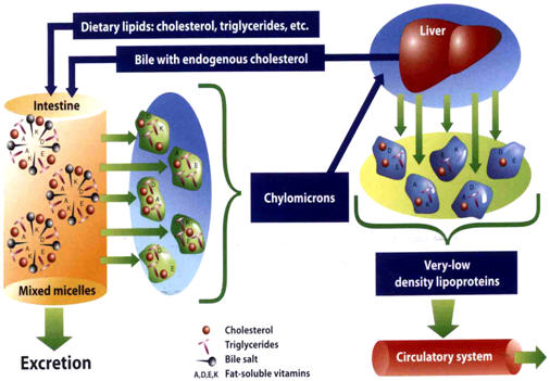 proses pembentukan kolesterol